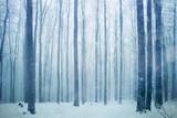 Fototapety Snowfall in foggy beech forest landscape. Snowy woodland background.