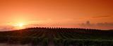 Vignoble Corse dans la plaine d'Aléria