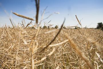 Kornfeld kurz vor der Ernte