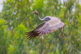 Young Eastern Sarus Crane (Grus antigone)  flying in to nature  poster