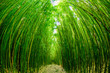 Quadro Path through a bamboo forrest on Maui, Hawaii, USA