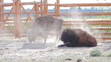 Bison digs a pit. Zubr raises dust of hoof. Bison in aviary. poster
