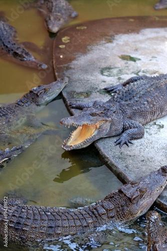 Foto op Plexiglas Krokodil Crocodile in the zoo