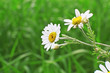 Small daisies in green field outdoors