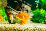 Fototapety Goldfish in aquarium with green plants