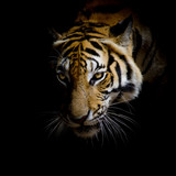 close up face tiger isolated on black background - Fine Art prints