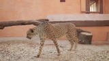 Cheetah in the zoo. Gepard walking behind the glass in the aviary. poster