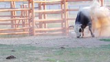 Horned bull in the aviary. Bull sprinkle himself of sand. poster