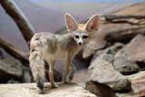 Fototapety Fennec fox (Vulpes zerda).