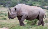Handsome Black Rhino