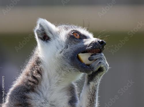 black and white lemur Poster