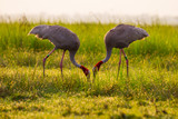 Couple of Eastern Sarus Crane (Grus antigone)  eating with morning light poster