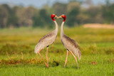 Eastern Sarus Crane (Grus antigone) which extinct in the wild in the 1980 poster