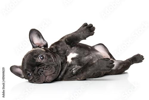 Fotobehang Franse bulldog French bulldog pup resting