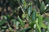 Rama d'olivo con germogli