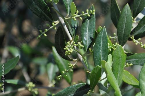 Staande foto Olijfboom Rama d'olivo con germogli
