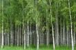 Obrazy na płótnie, fototapety, zdjęcia, fotoobrazy drukowane : Grove of birch trees