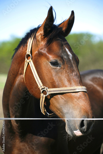 Saddle horse standing  behind electric fence summertime © acceptfoto