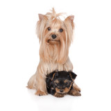 yorkshire terrier dog with a puppy