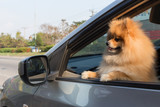 pomeranian dog cute pets in car