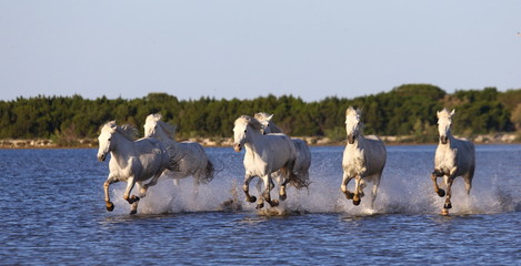 PROWANSJA, Francja - 08 maja, 2015: białych koni Camargue uruchomić w rezerwacie przyrody bagien w Parc Regional de Camargue - Prowansja, Francja