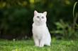 adorable grey british shorthair cat outdoors