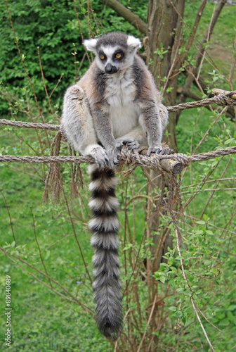 Papiers peints Hyène Ring-tailed lemur sitting on a rope in a Zoo