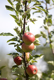 Apple Tree with mellow fruits poster