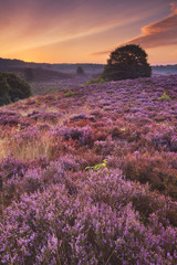 Blooming heather at dawn at the Posbank, The Netherlands