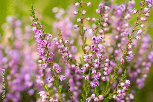Fototapety, obrazy : Heather flowers on a colored background bokeh