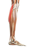 medically accurate illustration of the gastrocnemius poster