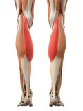 medically accurate illustration of the gastrocnemius medial head poster