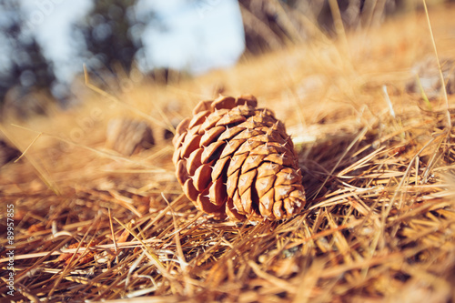 Pinecone on Forest Floor