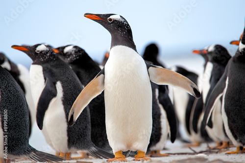Fotobehang Pinguin Gentoo Penguins (Pygoscelis papua) Falkland Islands.