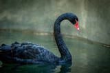 black swan on dark background