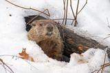 Groundhog emerges from snowy den
