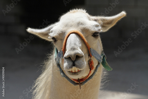 Poster Llama with Humorous Expression