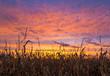 Cornfield and Sunset Sky