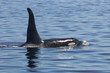 """Northern Resident Killer Whale A38 """"Blackney"""" sighted in Blackfish Sound off of Northern Vancouver Island in Canada."""