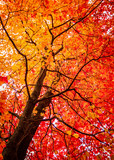Fototapety Colorful Orange and Red Maple Tree in Autumn. Spectacular Natural Beauty with Attractive Copy Space.