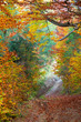 Silent Autumn forest and footpath - colorful vibrant leaves and