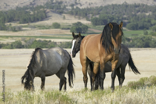 Horse known as Casanova, one of the wild horses at the Black Hills Wild Horse Sa Poster