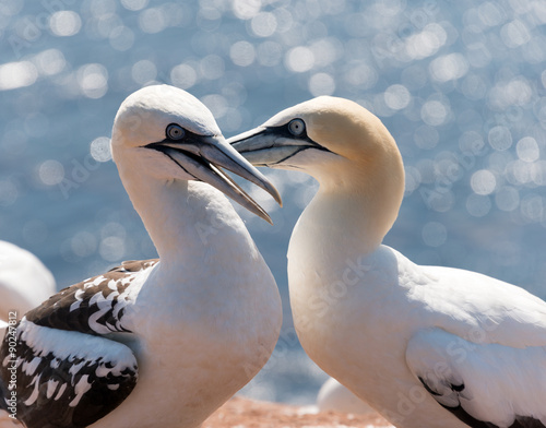 Plexiglas Eagle colony of northern gannets at heligoland