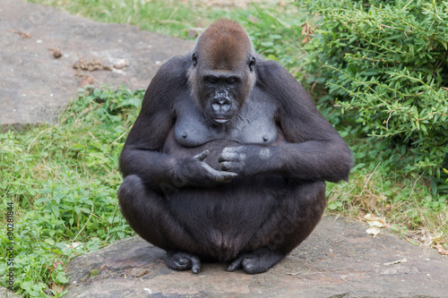 obraz lub plakat Adult gorilla resting