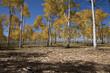 Aspen trees change color on Hastings Mesa, Ridgeway Colorado.