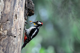 Great Spotted Woodpecker feeds a chick in the nest hollow