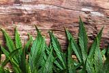 Fototapety Cannabis