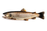 Brown trout - 90422062