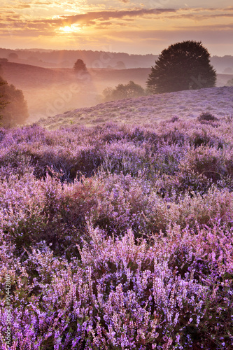 Blooming heather at sunrise, Posbank, The Netherlands Poster