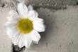 White chrysanthemum over grey brick wall